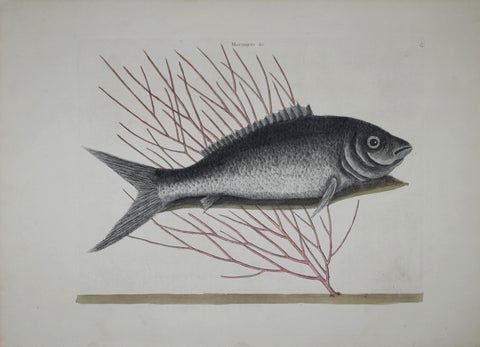 Mark Catesby (1683-1749), The Bone Fish P13