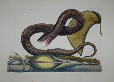 Mark Catesby (1683-1749), The Brown Viper P45