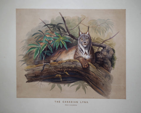 Joseph Wolf (1820-1899), The Canadian Lynx