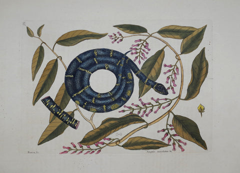Mark Catesby (1683-1749), The Chain Snake P52