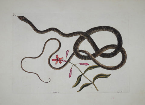 Mark Catesby (1683-1749), The Coach-Whipe Snake P54