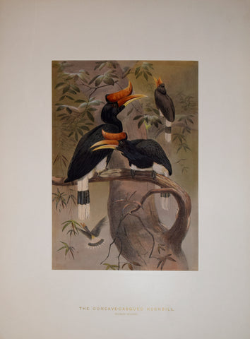Joseph Wolf (1820-1899), The Concave-Casqued Hornbill