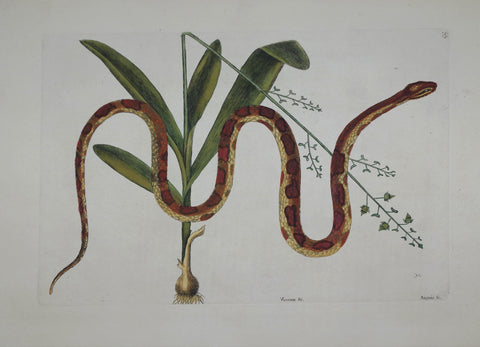 Mark Catesby (1683-1749), The Corn Snake P55