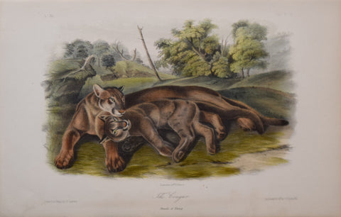 John James Audubon (1785-1851), The Cougar Plate XCVII