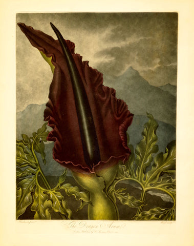 Robert John Thornton (1768-1837), The Dragon Arum