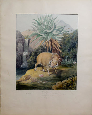 Charles Hamilton Smith (1776-1859), The Ethiopian Boar