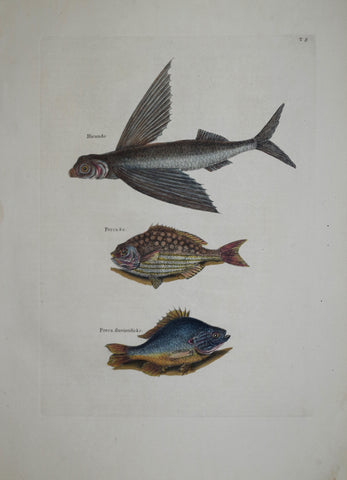 Mark Catesby (1683-1749), The Flying Fish P8