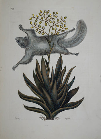 Mark Catesby (1683-1749), The Flying Squirrel P77