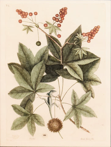 Mark Catesby (1683-1749), T65-The Green Lizard of Carolina