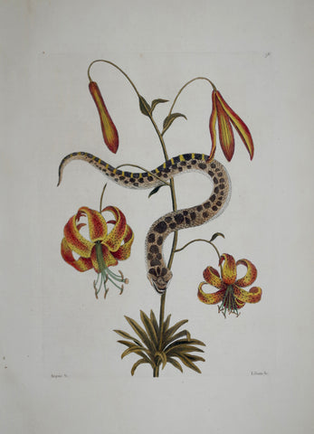 Mark Catesby (1683-1749), The Hog-Nose Snake P56