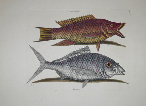 Mark Catesby (1683-1749), The Hog Fish P11