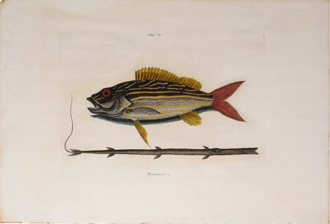 Mark Catesby (1683-1749), The Lane-Snapper and The Tobaccopipe Fish, T17