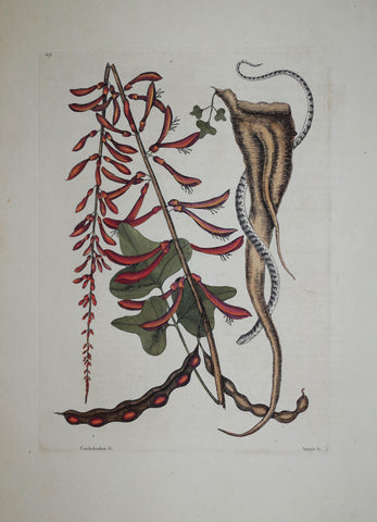 Mark Catesby (1683-1749), The Little Brown Bead Snake P49