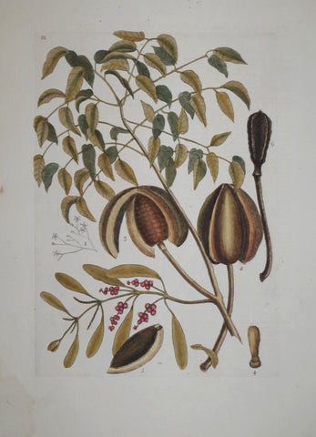 Mark Catesby (1683-1749), The Mahogany Tree P81
