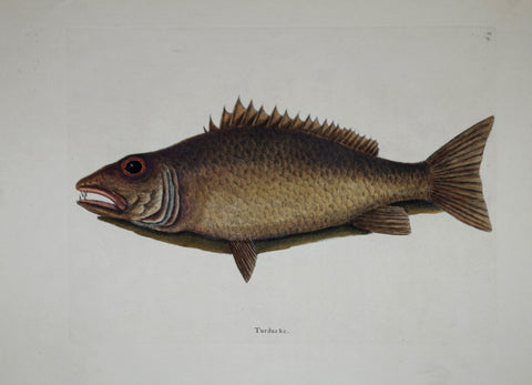 Mark Catesby (1683-1749), The Mangrove Snapper P9
