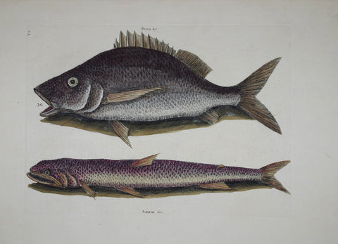 Mark Catesby (1683-1749), The Margate Fish P2