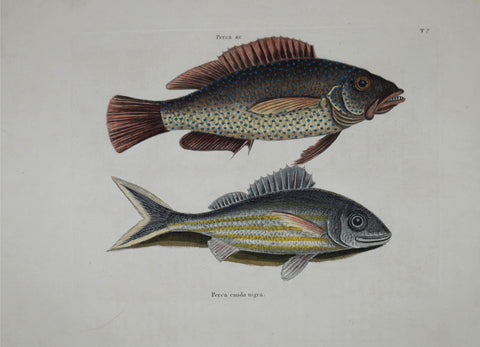 Mark Catesby (1683-1749), The Negro Fish P7