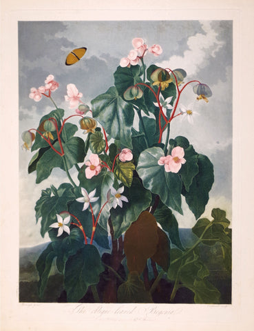 Robert John Thornton (1768-1837), The Oblique-leaved Begonia