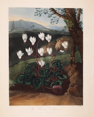 Robert John Thornton (1768-1837), The Persian Cyclamen