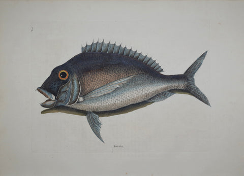 Mark Catesby (1683-1749), The Porgy P16