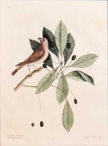 Mark Catesby (1683-1749), T41-The Purple Finch