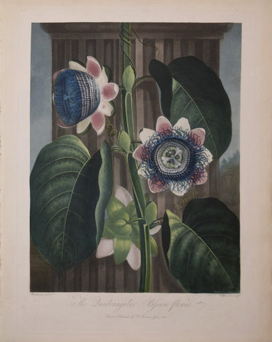 Robert John Thornton (1768-1837), The Quadrangular Passion Flower