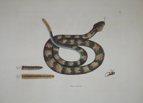 Mark Catesby (1683-1749), The Rattle Snake P41