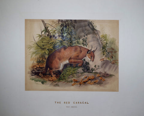 Joseph Wolf (1820-1899), The Red Caracal
