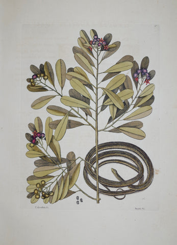 Mark Catesby (1683-1749), The Ribbon Snake P50