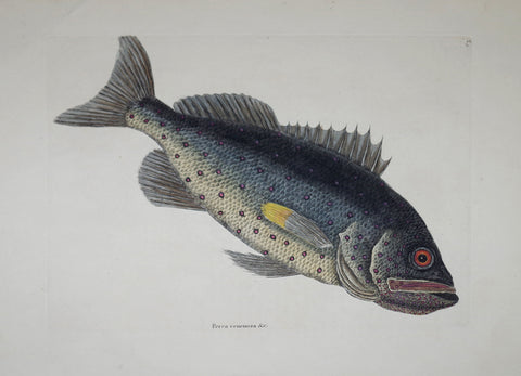 Mark Catesby (1683-1749), The Rock Fish P5