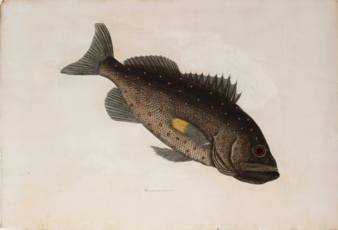 Mark Catesby (1683-1749), The Rock Fish T5