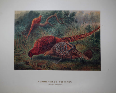 Joseph Wolf (1820-1899), The Soemmerring's Pheasant