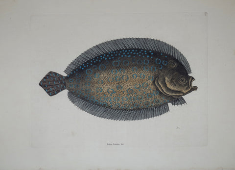 Mark Catesby (1683-1749), The Sole P27