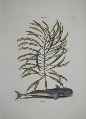 Mark Catesby (1683-1749), The Sucking Fish P26