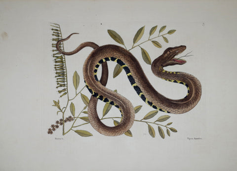 Mark Catesby (1683-1749), The Water Viper P43