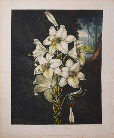 Robert John Thornton (1768-1837),  The White Lily with Variegated leaves