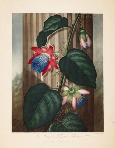 Robert John Thornton (1768-1837), The Winged Passion Flower