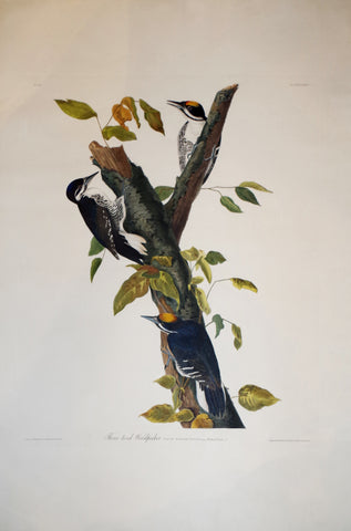 John James Audubon (1785-1851), Plate CXXXII Three-toed Woodpecker