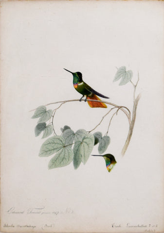 Edouard Travies (French, 1809-1865), Troch Lumachellus (Hummingbird) and Schnella Macrostachya