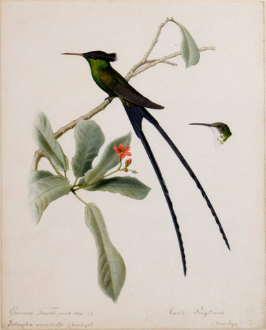 Edouard Travies (French, 1809-1865), Troch Polytmus (Red-billed streamertail) and Jatropha Acuminata