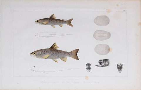 Louis Agassiz (1807-1873), Tab 3b, Salmo Fario (The Trout)