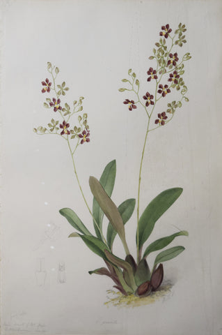 Walter Hood Fitch (1817-1892), [Gracile Flower]