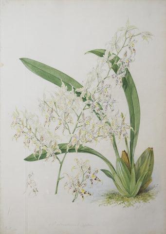 Walter Hood Fitch (1817-1892), [Yellow and White Orchid]