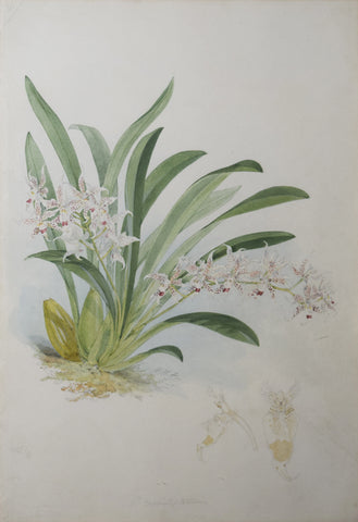 Walter Hood Fitch (1817-1892), [White Orchid with Red Speckles]