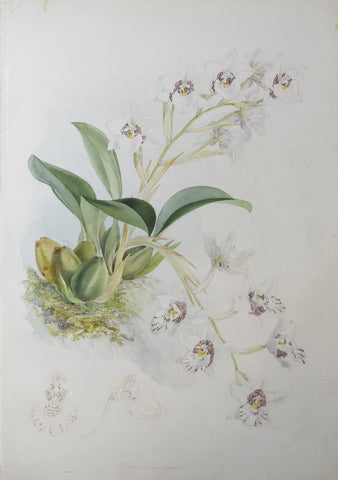 Walter Hood Fitch (1817-1892), [White Orchid]