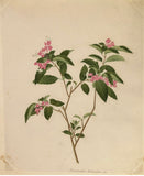 Company School/Chinese School Album, [Drawings of Flowers]
