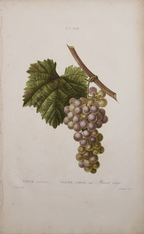 Pancrace Bessa (1772-1835), after, Vigne cultivee Muscat rouge