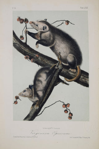John James Audubon (1785-1851) & John Woodhouse Audubon (1812-1862),  Virginian Opossum Pl. LXVI