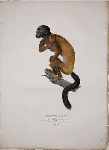 Johann Baptist von Spix (1781-1826), author, Plate VII, Brachyurus Israelita (The Red Backed Bearded Saki)