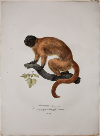 Johann Baptist von Spix (1781-1826), author, Plate XII, Callithrix personata (Atlantic or Masked Titi)